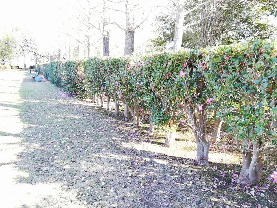 大崎台公園の植え込み
