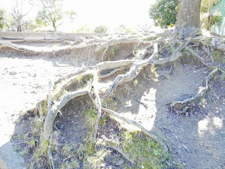 佐倉市 前原公園の立派な木の根っこ