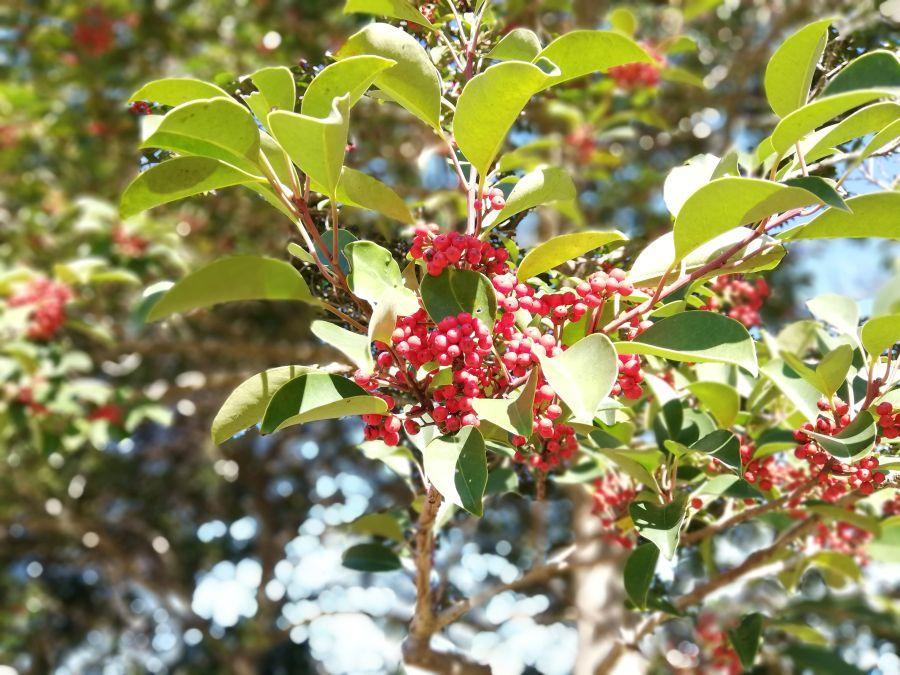 若宮台公園の赤い実