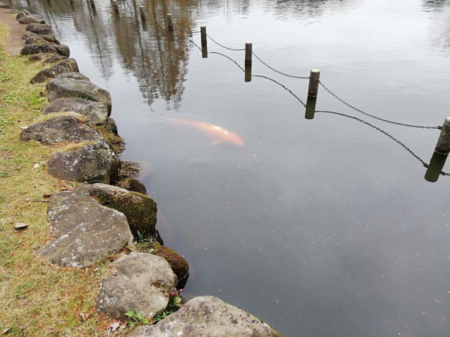 七井戸公園の池の鯉