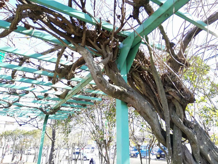 織戸公園の棚に絡まる木