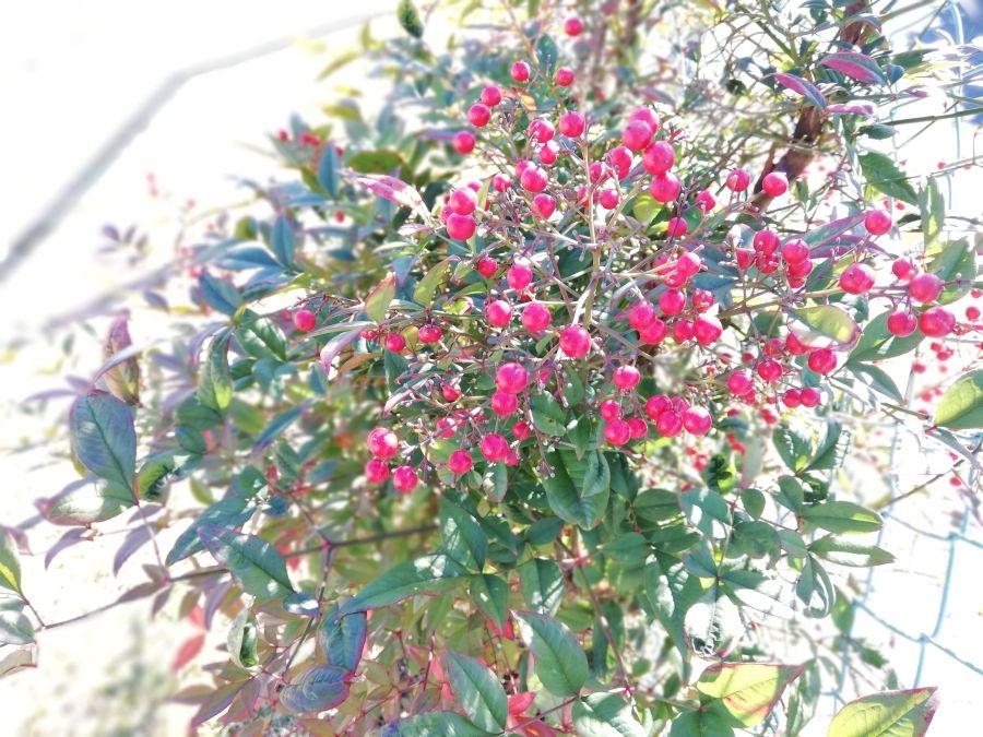 井戸作東公園の赤い実
