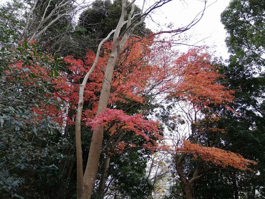七井戸公園のお散歩道の紅葉