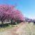 河津桜が満開を迎える 佐倉市西志津