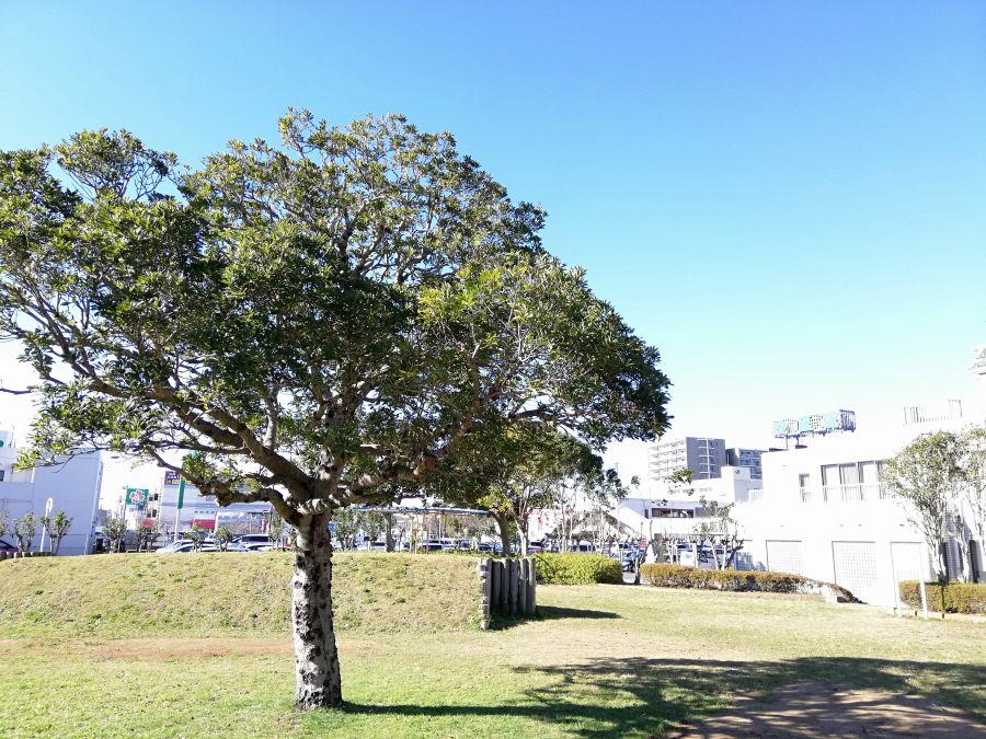 佐倉市 町田南公園の真ん中の立派な木