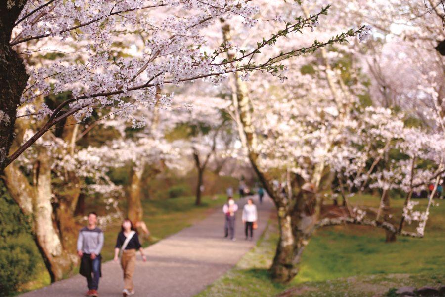 桜に染まるまち佐倉 佐倉城址公園