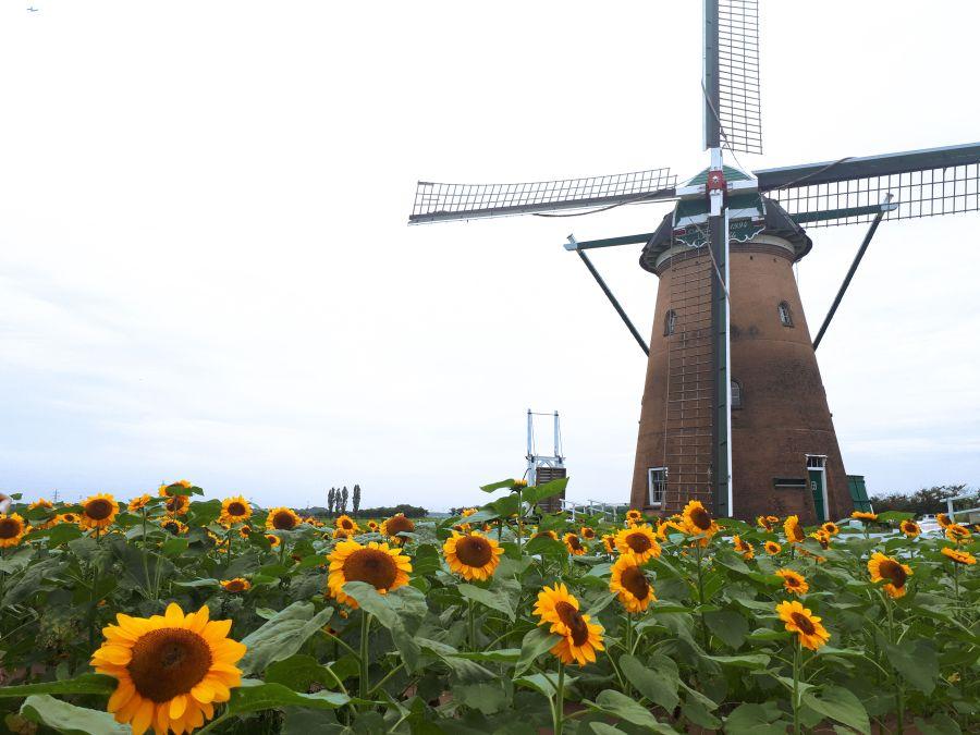 2020年5月13日 風車のひまわりガーデン中止