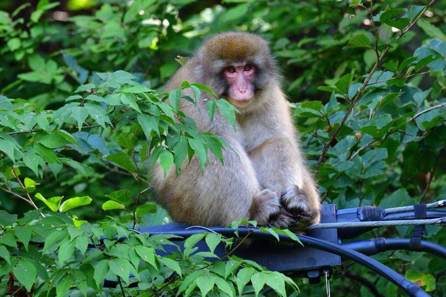 佐倉市 野生の猿 出没記事使用