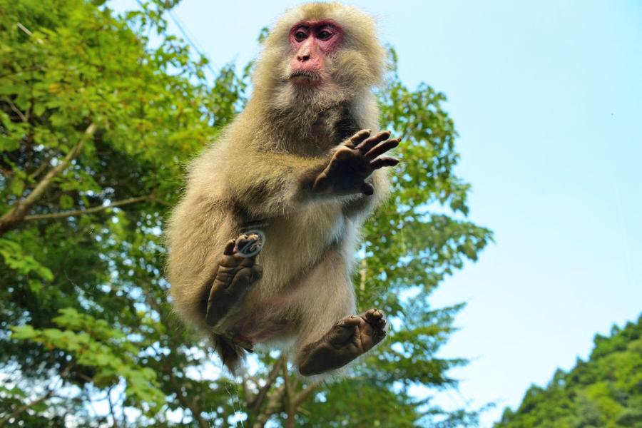 2020年6月26日 佐倉市 野生の猿が再び出没 サル