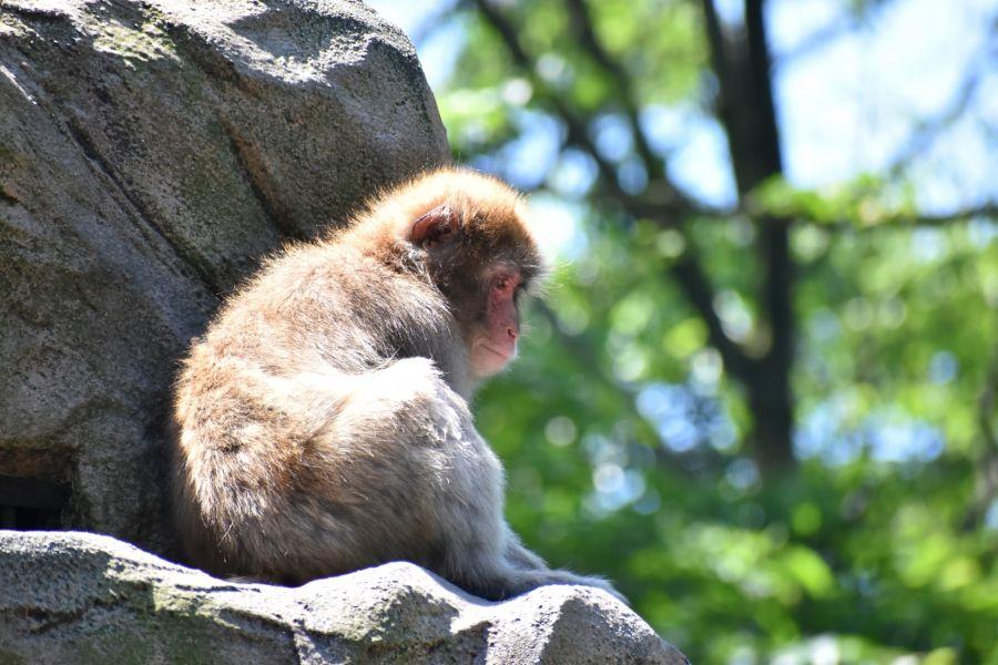 佐倉市 野生の猿