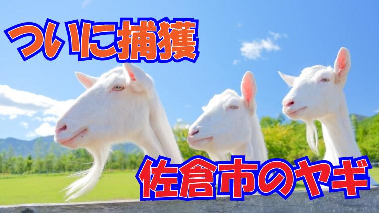 2020年8月11日 佐倉市 崖の上のヤギ ポニョ 捕獲