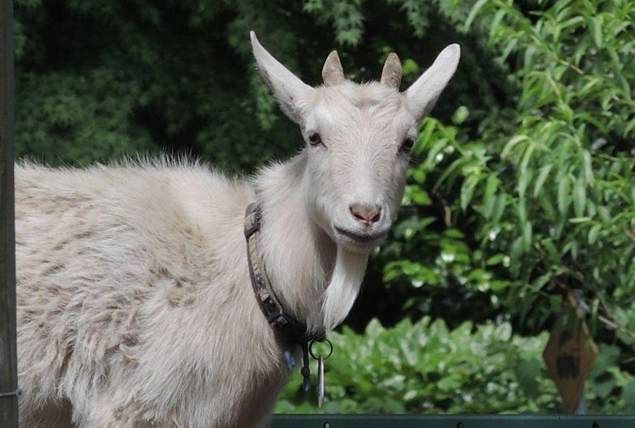 佐倉市 草ぶえの丘のヤギに崖の上のヤギ「ポニョ」が仲間入り