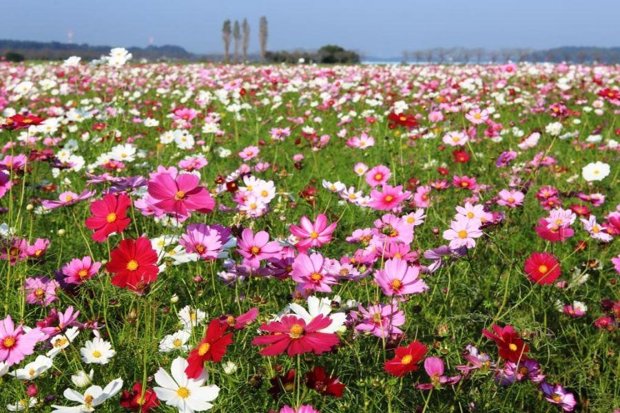 2020年10月6日 佐倉市 ふるさと広場 コスモス 30年度の写真