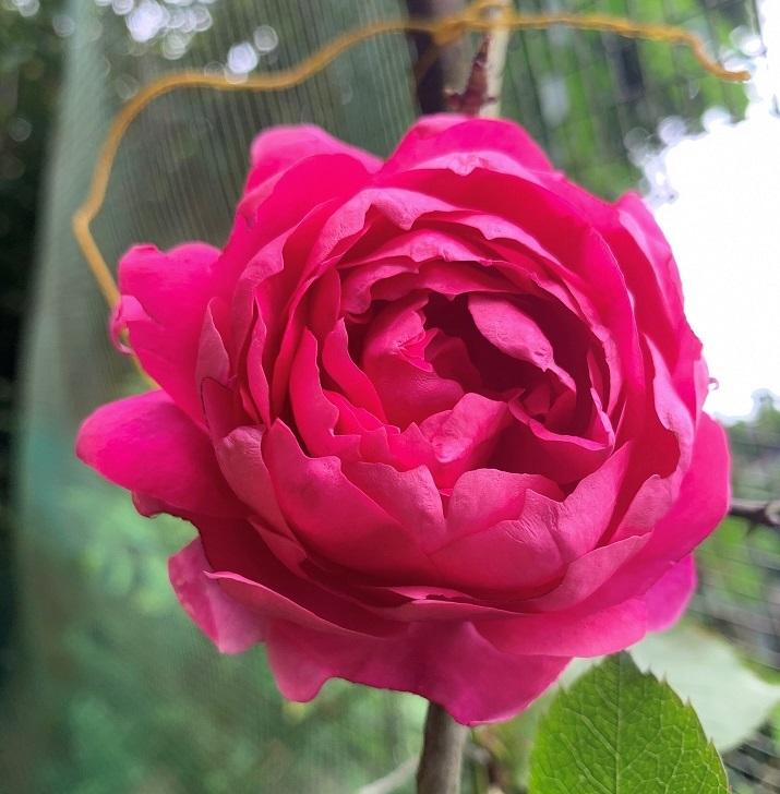 佐倉草ぶえの丘バラ園 15周年 新しいバラ