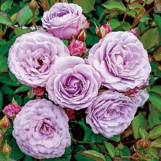 京成バラ園のバラ 八千代市のローズガーデン